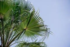 Feuilles de date-arbre photographie stock