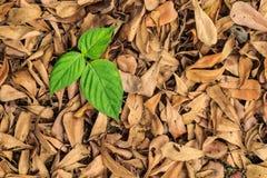 Feuilles de feuilles, fraîches et séché images stock