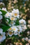 Feuilles de fleur et de vert de jasmin Images stock