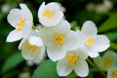 Feuilles de fleur et de vert de jasmin Images libres de droits