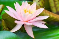 Feuilles de fleur et de vert de Lotus horizontales Image stock