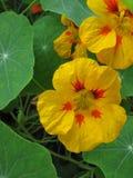 Feuilles de fleur et de vert de nasturce Image stock