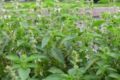 Feuilles de fleurs et de vert de basilic frais Photos stock
