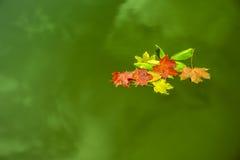 Feuilles de flottement sur l'eau verte Photographie stock libre de droits