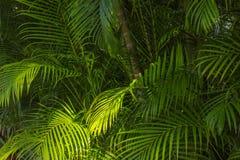 Feuilles de fond de paume en Hawaï, Etats-Unis Image libre de droits