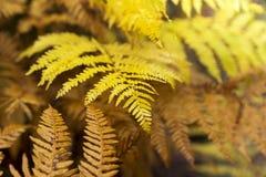 Feuilles de fougère d'automne dans un jour ensoleillé Image libre de droits