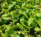 Feuilles de fraise Photographie stock libre de droits