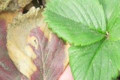 Feuilles de fraise infectées photos stock