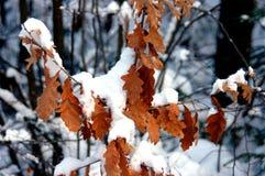 Feuilles de gâchette sous la neige photographie stock