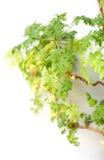 Feuilles de géranium sur un fond vert Images stock