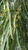 Feuilles de Gumtree avec des fleurs environ à la fleur Image libre de droits