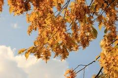 Feuilles de hêtre d'automne contre le ciel bleu Photo libre de droits