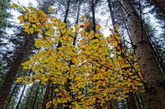 Feuilles de hêtre en défunt automne Photographie stock