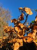 Feuilles de haie de hêtre d'automne contre le ciel bleu Photo stock