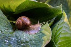 Feuilles de Hosta avec l'escargot Image libre de droits