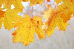 Feuilles de jaune d'automne d'érable dehors Photos stock