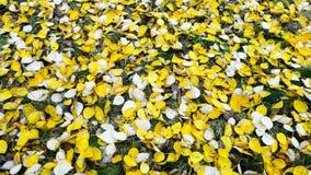 Feuilles de jaune d'automne au sol Photos stock