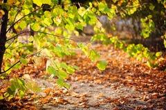 Feuilles de jaune d'automne d'arbre Photos stock