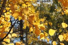 Feuilles de jaune d'automne et brindilles, saisons : automne Photographie stock libre de droits