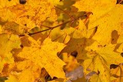 Feuilles de jaune d'automne sur l'arbre Image libre de droits