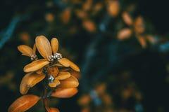 Feuilles de jaune des sempervirens de buxus Photos libres de droits
