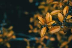 Feuilles de jaune des sempervirens de buxus Images stock