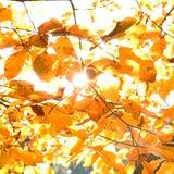 Feuilles de jaune illuminées par le soleil droit, fond d'automne Photographie stock