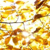 Feuilles de jaune illuminées par le soleil droit, fond d'automne Image stock