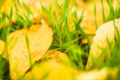 Feuilles de jaune sur l'herbe verte Photographie stock libre de droits