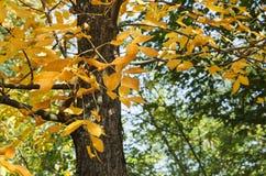 Feuilles de jaune sur un arbre en automne Photo libre de droits