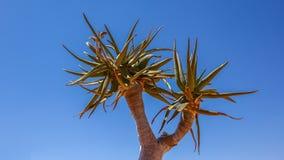 Feuilles de l'arbre de tremblement, dichotoma d'aloès, Namibie image libre de droits