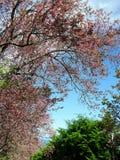 Feuilles de l'Himalaya sauvages roses de floraison de cerise et de vert sous le ciel bleu Images stock