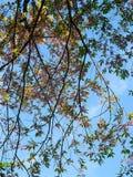 Feuilles de l'Himalaya sauvages roses de floraison de cerise et de vert sous le ciel bleu Photo stock