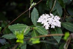 Feuilles de laurier et fleurs blanches Images libres de droits