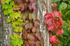 Feuilles de lierre d'automne photographie stock libre de droits