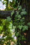 Feuilles de lierre sur une branche d'arbre Photos stock