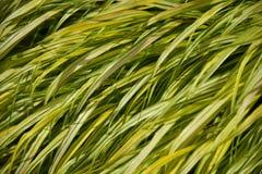 Feuilles de lis ou d'herbe Photo stock