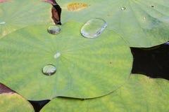 Feuilles de Lotus Photographie stock