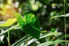 Feuilles de Lotus avec la lumière du soleil Images libres de droits