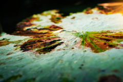 Feuilles de Lotus avec la sécheresse sur l'eau Image libre de droits