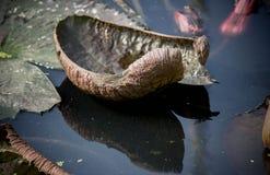 Feuilles de lotus de Nymphaea avec l'ombre de réflexion dans l'étang Images stock