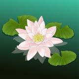 Feuilles de lotus de rose de nénuphar de fleur Illustration Libre de Droits