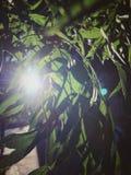 Feuilles de lumière du soleil Photos libres de droits