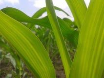 Feuilles de maïs vert Image stock