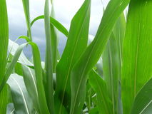 Feuilles de maïs vert Photos libres de droits