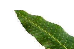 Feuilles de mangue Images stock