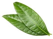 feuilles de mangue d'isolement Photo stock