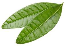 feuilles de mangue d'isolement Photos stock