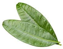 feuilles de mangue d'isolement Images libres de droits