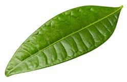 feuilles de mangue d'isolement Photos libres de droits
